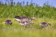 Family Greylag goose feeding on grass Stock Photos