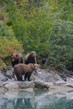 Family of grizzly bears Stock Images