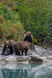 Family of grizzly bears Royalty Free Stock Photos