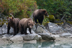 Family of grizzly bears Stock Photos