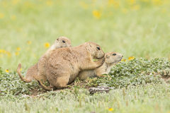 Family grooming of prairie dogs Royalty Free Stock Photos