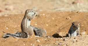 Family of Ground Squirrels carefully come out of their burrow in. The Kalahari Royalty Free Stock Image