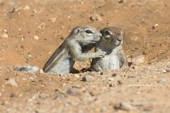 Family of Ground Squirrels carefully come out of their burrow in. The Kalahari Royalty Free Stock Photography