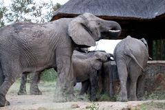 Family group of elephants drinking water from a plunge pool at a private camp in the Sabi Sand Game Reserve, South Africa. Family group of African elephants stock image
