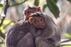 A Moment: Bonnet macaque in sunlight and shades - Macaca radiata royalty free stock images