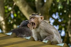 Bonnet macaque scaring a smaller one royalty free stock image
