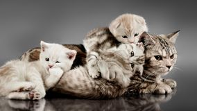 Family group cats. Family group of four fluffy beautiful kitten with mother, breed scottish-fold, lie on grey background royalty free stock images