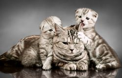 Family group cats. Family group of four fluffy beautiful kitten with mother, breed scottish-fold, lie on grey background royalty free stock photography