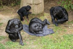 A family of chimpanzees, from granddad to baby stock images