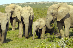 Family group of elephants. Elephant family with baby elephant between them Royalty Free Stock Photo