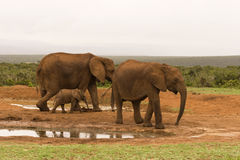 Family group of elephants drinking Royalty Free Stock Photography
