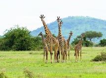 Family Group Of Masai Giraffe In The Serengeti Stock Image