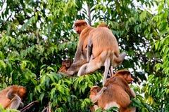 Family group of Proboscis monkey Royalty Free Stock Photos