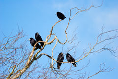 Family Group of Rooks in Tree Top Branches Royalty Free Stock Photo