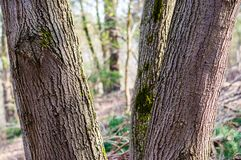 The group of several trunks of one tree in the forest. The family group of several trunks of one tree in the forest stock images
