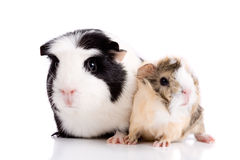 Family guinea pigs Stock Image