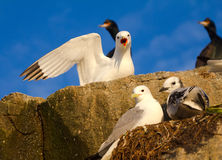 Family of gulls (kittiwakes) Royalty Free Stock Image