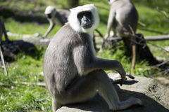 Family Hanuman Langur, Semnopithecus entellus in India is worshiped Stock Images