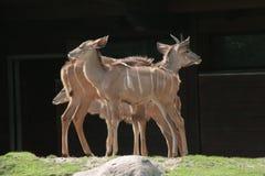Family harmony. Antelope family in Zoo, Berlin, Germany Royalty Free Stock Photography
