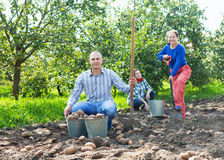 Family with harvested potatoes in field Royalty Free Stock Photos