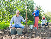 Family with harvested potatoes in field Royalty Free Stock Image