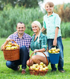 Family harvesting apples in garden Royalty Free Stock Photo