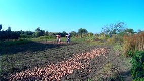 Family harvesting organic grown potato. Ukraine, Podillya, Khmelnytskyi editorial