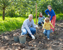 Family harvesting potatoes in field stock images
