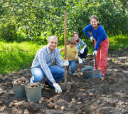 Family harvesting potatoes in field Stock Photography