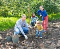 Family harvesting potatoes in  garden. Happy family harvesting potatoes in vegetable garden Royalty Free Stock Image