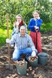 Family harvesting potatoes in  garden Stock Photos