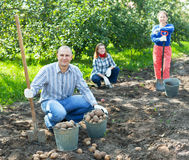 Family harvesting potatoes in  garden Stock Image