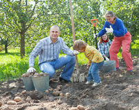 Family harvesting potatoes in  garden Royalty Free Stock Photos