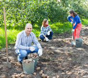 Family harvesting potatoes in  garden Royalty Free Stock Photography