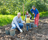 Family harvesting potatoes Royalty Free Stock Photo