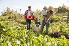 Family Harvesting Produce From Allotment Together Royalty Free Stock Photos