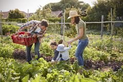 Family Harvesting Produce From Allotment Together Royalty Free Stock Photo