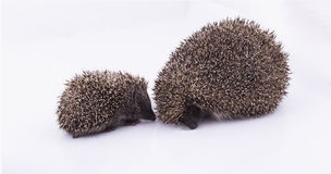 Family of hedgehogs Stock Images