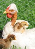 Family hen Royalty Free Stock Photo