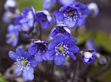 Family Hepatica Royalty Free Stock Photo