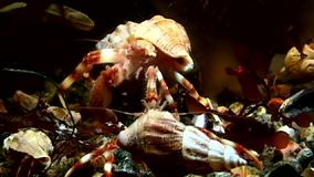 Family of hermit crab underwater in search of food on seabed of White Sea.