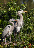 Family of herons. Blue heron family nestle wild wildlife ecology parents Royalty Free Stock Photos