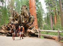 Family on hiking trip exploring sequoia trees. People walking through the Fallen Monarch, tree, General Grant Tree Trail, Kings Canyon National Park royalty free stock photography