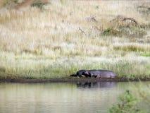 Family hippopotamus Stock Images