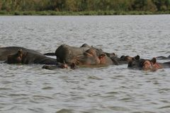 Family of Hippopotamus, Hippopotamus amphibius, partially submerged in water, Lake Naivasha, Kenya stock photography