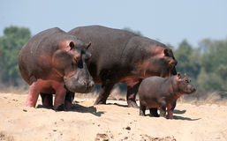 Family of hippopotamuses Stock Photography