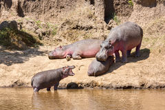 Family of Hippopotamuses stock photo
