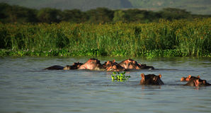 Family of Hippos Stock Images