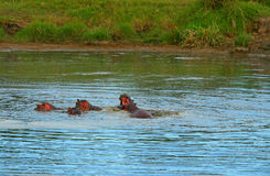 Family of hippos in the lake Stock Image
