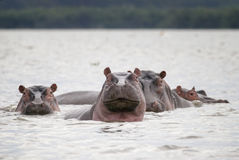 A family of hippos in the lake water. Kenya stock images